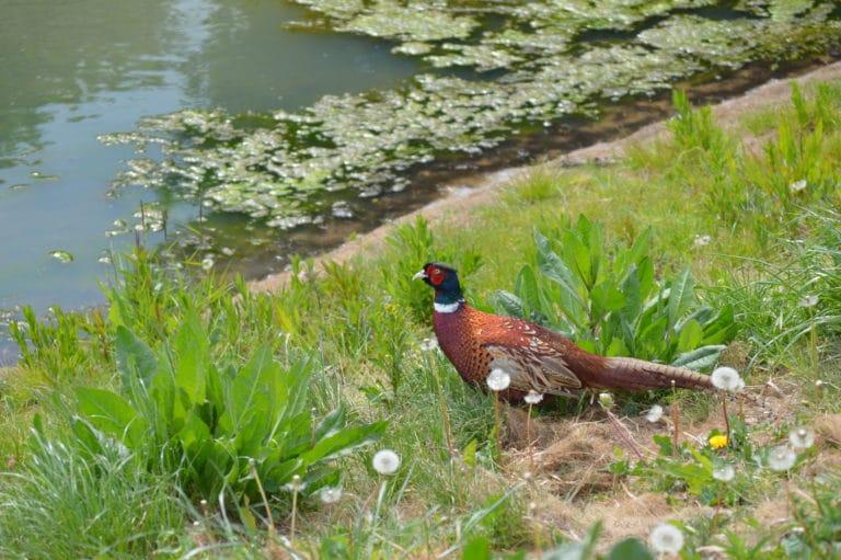 Sud's Pheasant